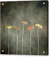 Gerbera Acrylic Print