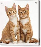Ginger Kittens Acrylic Print
