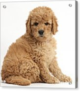 Goldendoodle Puppy Acrylic Print