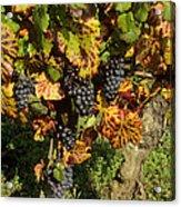Grapes Growing On Vine Acrylic Print