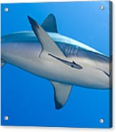 Gray Reef Shark With Remora, Papua New Acrylic Print