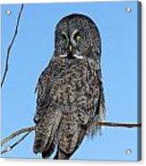 Great Gray Owl Acrylic Print