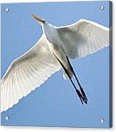 Great White Egret In Flight Acrylic Print