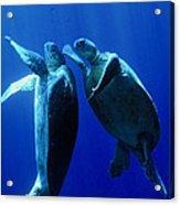 Green Turtles Mating Acrylic Print