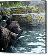 Grizzly Bear Or Brown Bear Acrylic Print