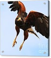 Harris Hawk Acrylic Print