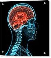 Head Anatomy, Artwork Acrylic Print