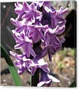 Hyacinth Named Splendid Cornelia Acrylic Print