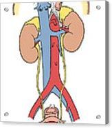Illustration Of Female Urinary System Acrylic Print