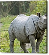 Indian Rhinoceros Acrylic Print by Tony Camacho
