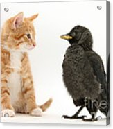 Jackdaw And Kitten Acrylic Print