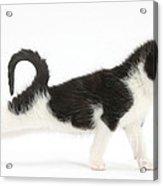Kitten Stretching Acrylic Print