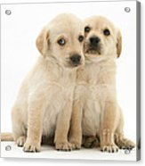 Labrador Retriever Puppies Acrylic Print by Jane Burton
