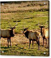 3 Magnificent Bull Elk Acrylic Print by Cindy Wright