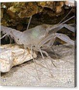 Mclanes Cave Crayfish Acrylic Print