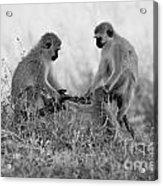 3 Monkeys Hey Its Not A Wig Acrylic Print