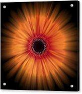Orange Gerbera Daisy On Black Acrylic Print