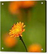 Orange Hawkweed Acrylic Print
