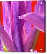 Photograph Of A Dutch Iris Acrylic Print
