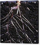 Plant Roots Acrylic Print
