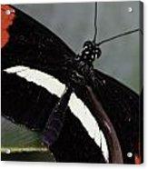Postman Butterfly Acrylic Print