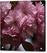 Precious Cherry Blossom Acrylic Print