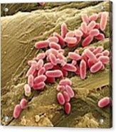 Pseudomonas Aeruginosa Bacteria, Sem Acrylic Print