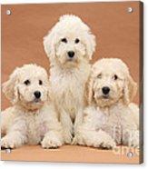Puppies Acrylic Print