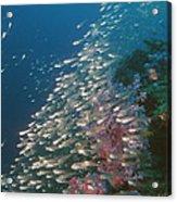 Pygmy Sweeper Fish Acrylic Print