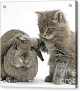Rabbit And Kitten Acrylic Print
