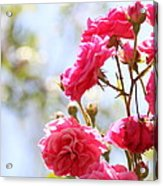 Roses Acrylic Print by Gal Ashkenazi
