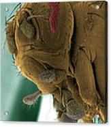 Sem Of A Mutant Fruit Fly Acrylic Print