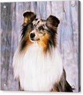 Shetland Sheepdog Portrait Of A Dog Acrylic Print