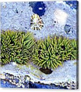 Snakelocks Anemone Acrylic Print