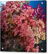 Soft Coral In Raja Ampat, Indonesia Acrylic Print