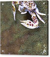 Spotted Porcelain Crab Feeding Acrylic Print by Steve Jones