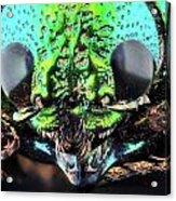 Sternocera Ruficonis Acrylic Print