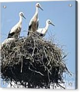 3 Storks In The Nest. Lithuania Acrylic Print