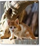 Sweet Cat Acrylic Print
