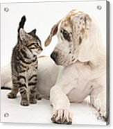 Tabby Kitten & Great Dane Pup Acrylic Print