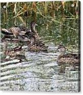 Teal Ducks Acrylic Print