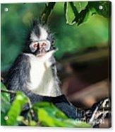 Thomas's Leaf Monkey Acrylic Print