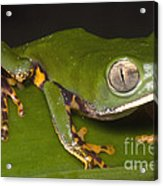 Tiger Stripe Monkey Frog Acrylic Print