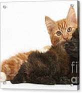 Toy Poodle Puppy With Kitten Acrylic Print