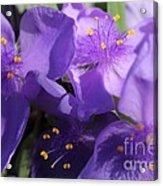 Tradescantia Named Andersonia Mauve Acrylic Print