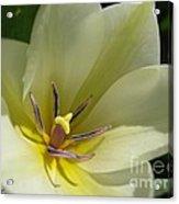 Tulip Named Perles De Printemp Acrylic Print