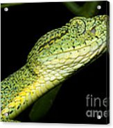 Two Striped Forest Pit Viper Acrylic Print