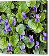 Viola Odorata (sweet Violets) Acrylic Print