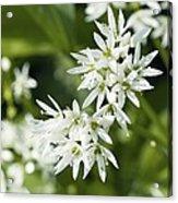 Wild Garlic (allium Ursinum) Acrylic Print