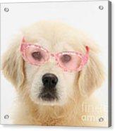 Yellow Labrador Retriever Pup Acrylic Print